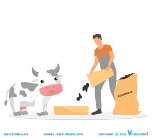 pemberian pakan pada sapi