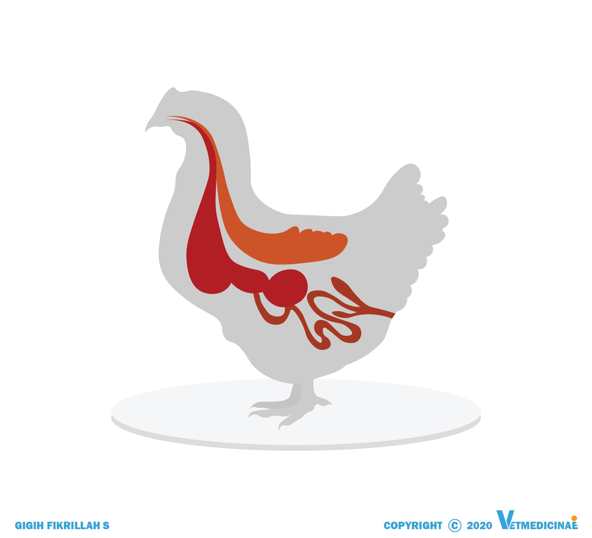 organ sistem pencernaan ayam