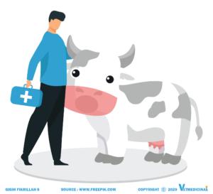 cara mengobati sapi kembung