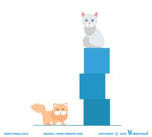 apa perbedaan kucing anggora dan persia