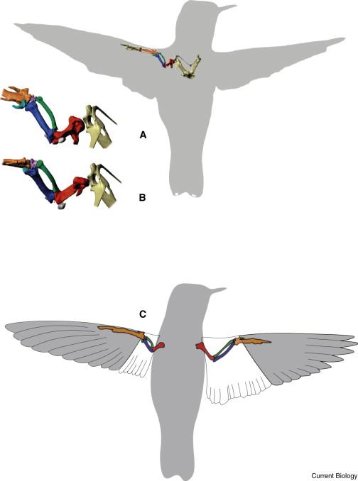 Tulang Sayap Burung Kolibri