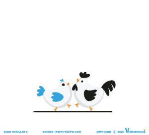inseminasi buatan pada ayam