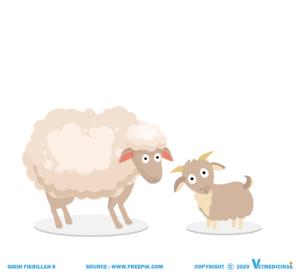 perbedaan kambing dan domba